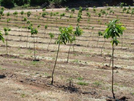 Plantación de castaños